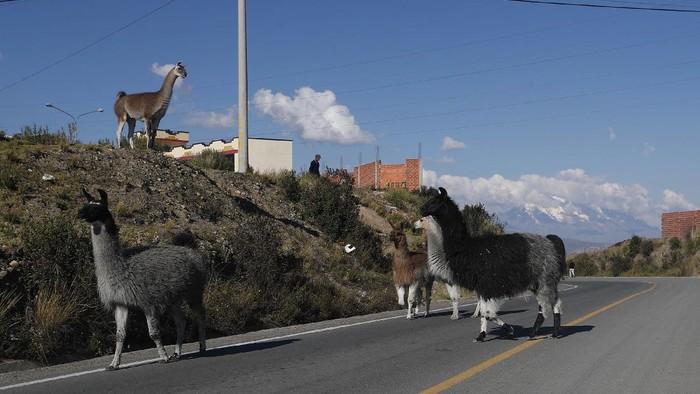Tidak hanya di India, hewan yang berkeliaran saat Pandemi Corona juga terjadi di Bolivia. Sejumlah Llama dengan santainya melintas di jalan raya di El Alto.