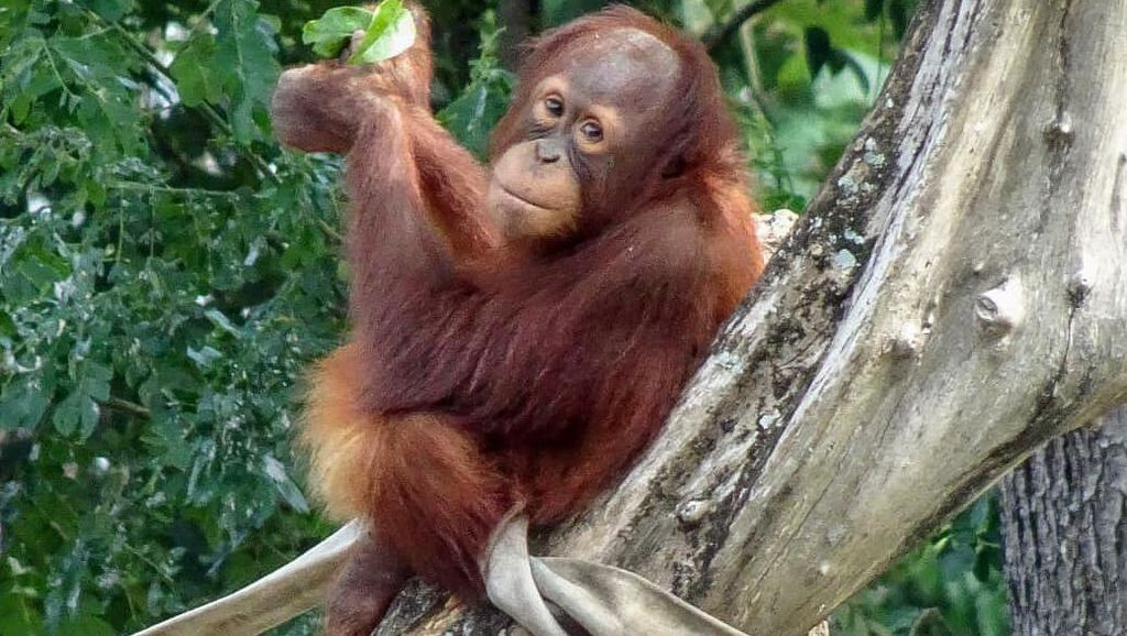 Orang Utan Rocky Dilepasliarkan di Taman Nasional Bukit Tigapuluh Riau