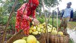 Melihat Panen Timun Suri di Bogor