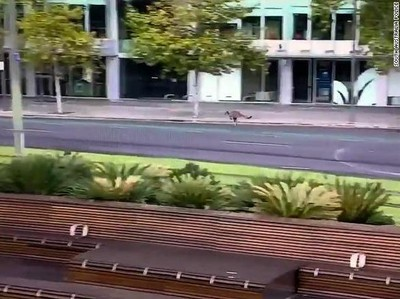Kompilasi Hewan-hewan Liar Menjelajah Kota Saat Lockdown