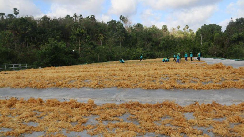 Pasar Vietnam Terbuka, KKP Optimis Ekspor Rumput Laut Jadi Andalan
