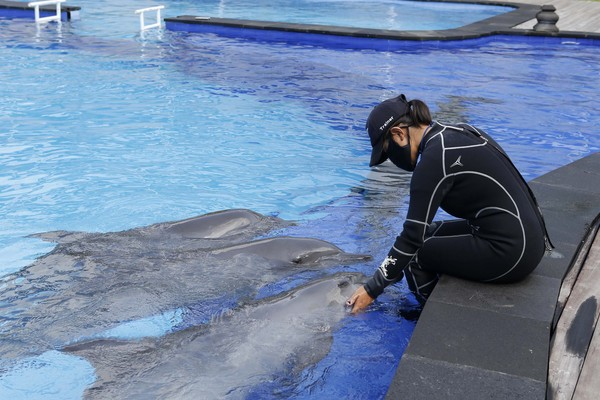 Seorang pelatih tengah bermain dengan lumba-lumba.