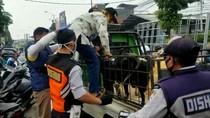 Langgar PSBB, Penumpang Pikap Terpaksa Duduk Bareng Domba Menuju Garut