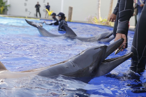 Seorang pelatih memberi makan lumba-lumba di sebuah pusat konservasi di Bali, Selasa (28/4).