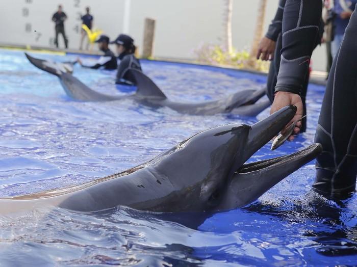 Semua tempat wisata di Bali tutup selama wabah corona. Termasuk pusat konservasi lumba-lumba. Yuk lihat para pelatih melatih mamalia laut tersebut.