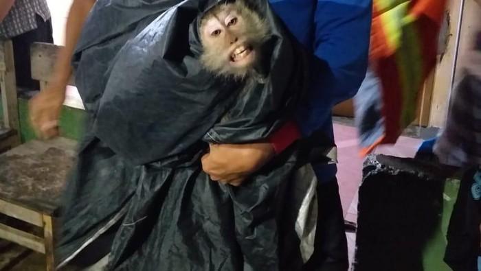 Damkar Tangkap Monyet Liar di Cipayung