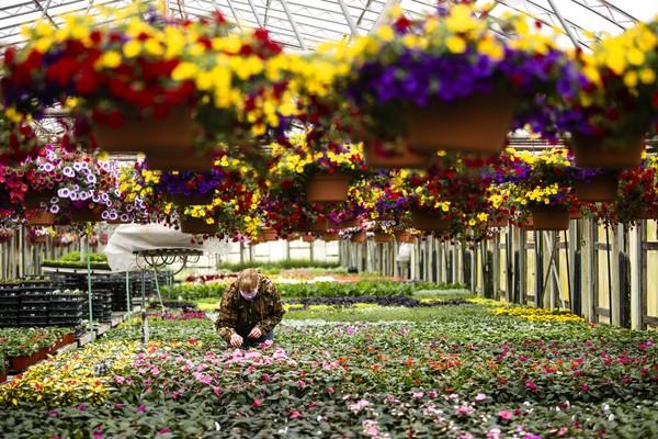 Petani bunga merawat tanaman di Grateford, AS (27/4/2020). Petani bunga menjadi salah satu sektor yang merugi akibat COVID-19. AP Photo/Matt Rourke