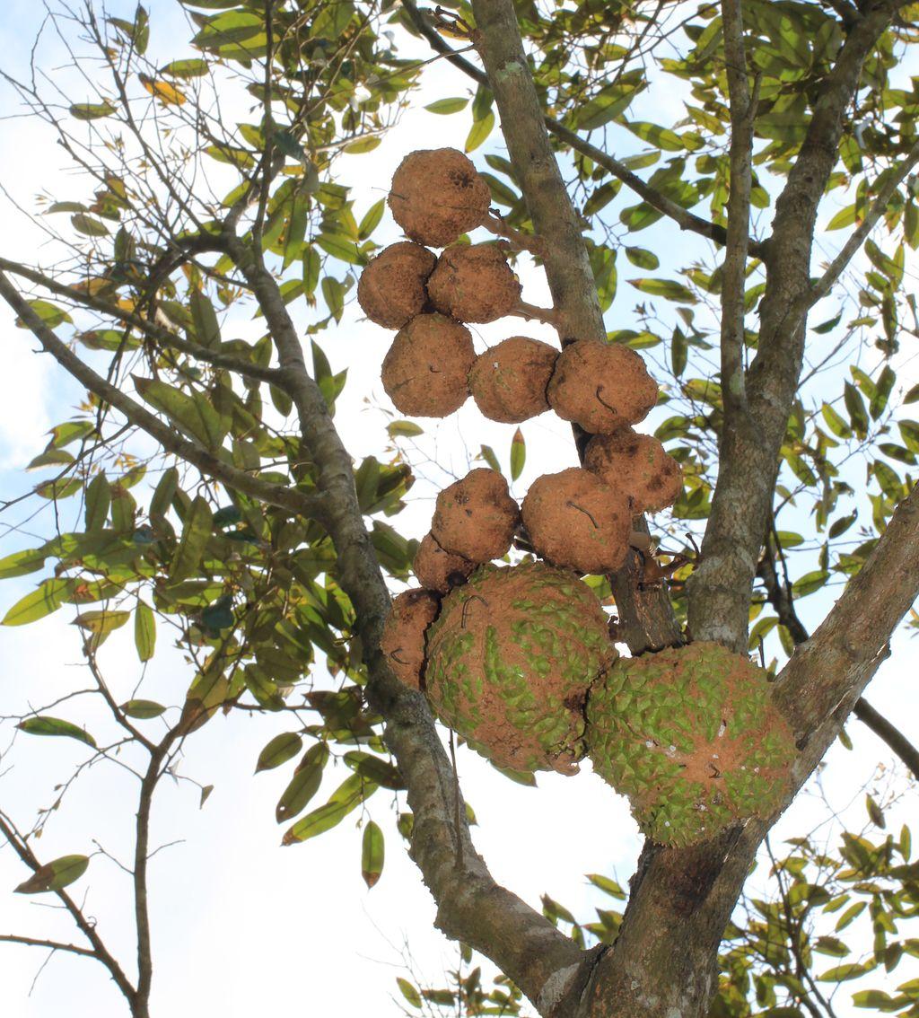 durian gundul