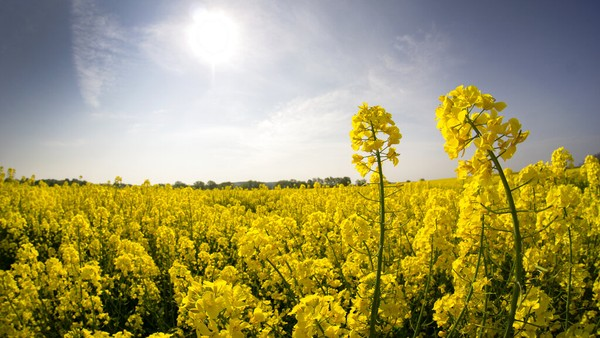Warna bunga musim semi terlihat maksimal di pinggiran Berlin, Jerman (28/4/2020). Musim semi yang lebih hangat dan jarang hujan mengkhawatirkan para petani. AP Photo/Michael Sohn