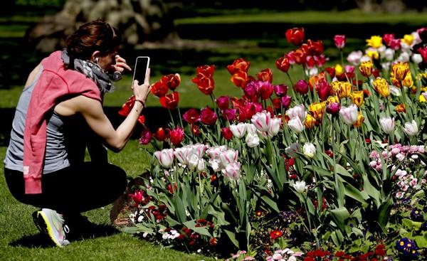 Hamparan ladang bunga di Swis (26/4/2020). Biasanya, kawasan ini ramai turis dan dan warga menikmati musim semi yang menyenangkan. Laurent Gillieron/Keystone via AP