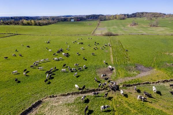 Kawanan sapi merumput di lahan pertanian Olasgard, Swedia (25/4/2020). Jika tidak ada pandemi Corona, lahan pertanian ini penuh turis dan berbagai festival. Adam Ihse/TT News Agency via AP