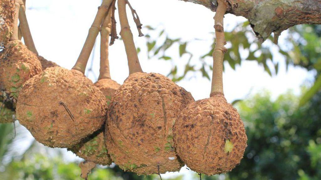 Unik! Durian Gundul Berhasil Dipetik Setelah Eksperimen 12 Tahun