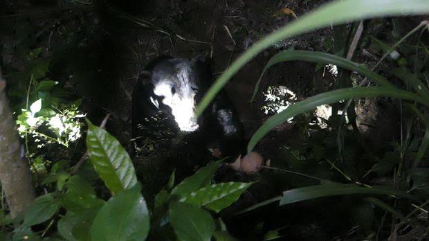 Beruang madu yang sempat lepas dari kandangnya di WRC YKAY Kulon Progo, Rabu (29/4/2020).
