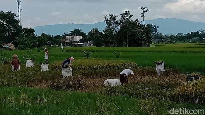 Petani di Kecamatan Polanharjo masih ada yang panen padi