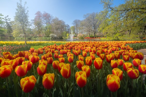Kolam dengan air mancur di tengah taman megah bunga tulip nan indah.