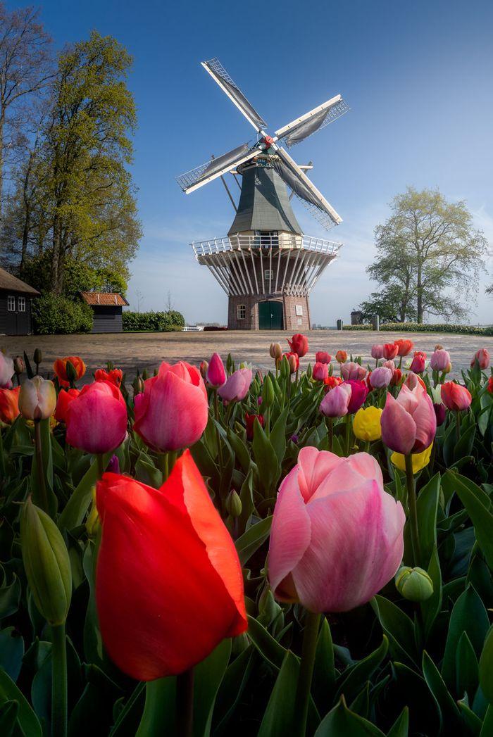 Mengintip Taman Bunga Tulip Terindah Di Dunia