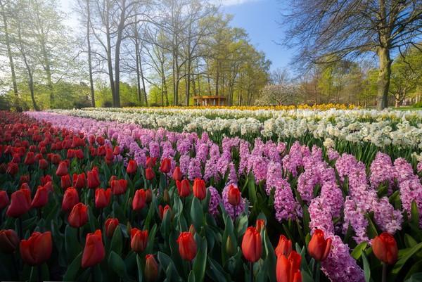 Garis tulip, eceng gondok, dan bunga bakung di antara pohon-pohon.