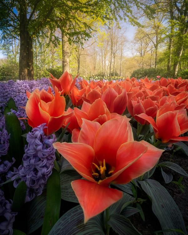 Di taman tersebut, banyak jenis tulip yang tidak pernah dilihat sebelumnya.