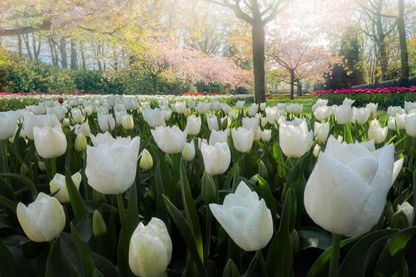 Taman bunga sakura di mana anda dapat menemukan puluhan bunga sakura yang dikombinasikan dengan tulip. Indah sekali bukan?