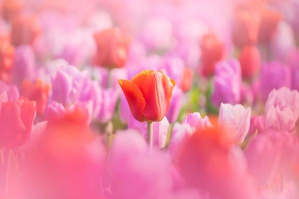Potret bunga yang indah, dan Keukenhof sangat cocok untuk itu dengan beragam jenis bunganya.