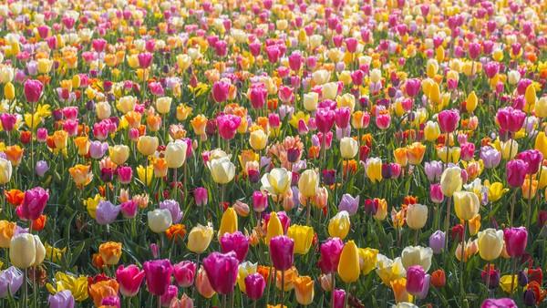 Di beberapa bagian taman, anda dapat menemukan lautan tak berujung dari tulip berwarna berbeda yang bersama-sama membuat palet warna abstrak yang indah.