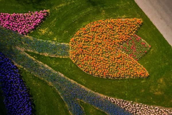 Jika dilihat sejajar dengan mata maka kita tidak akan melihat ini, namun dengan bantuan drone dapat terlihat bentuk bunga tulip.