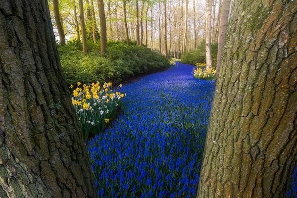 Sungai Biru yang terkenal di dunia. Sebuah jalan eceng gondok anggur biru yang berzigzag melintasi pepohonan.