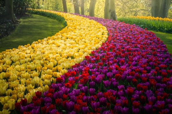 Anda bisa melihat garis-garis dan bentuk tulip di taman ini.
