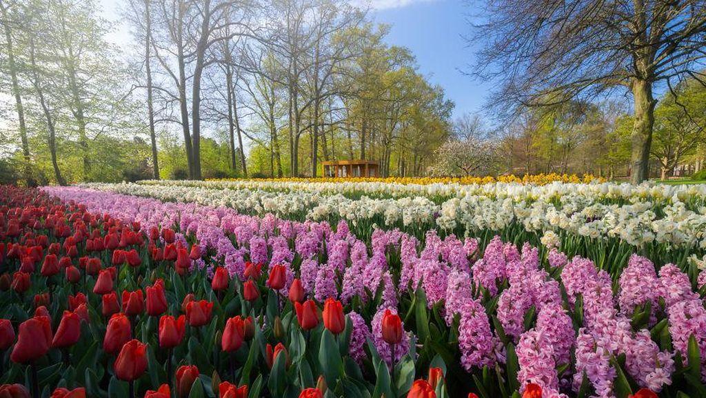 Tak Ada Pengunjung, Taman Bunga Terindah di Dunia Kian Memesona