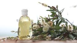 6 Manfaat Minyak Kayu Putih, Mengatasi Batuk hingga Gigitan Serangga