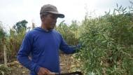 Coba Bertani Kayu Putih Panen Puluhan Juta Rupiah? Ikuti Cara Petani Ini