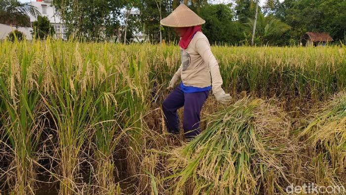 Petani Ciamis ogah jual hasil panennya karena khawatir beras langka gegara Corona