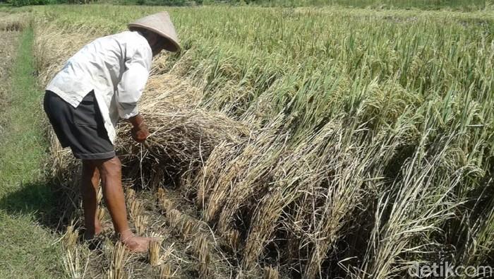Sebaigian lahan padi di Kecamatan Galur, Kulon Progo yang diserang hama wereng, Senin (4/5/2020).