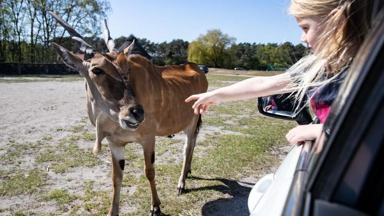 Pandemi COVID-19 yang melanda dunia mengakibatkan ditutupnya sebagian besar kebun binatang, sehingga para satwa terdampak kelaparan atau justru ada lebih sehat.