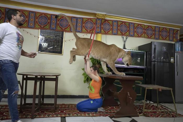 Pertunjukan sirkus di Mesir ditutup akibat wabah Corona. Ashraf el-Helw pun beraksi dengan singa betinanya di dalam rumah dan menggugahnya ke Medsos. Yuk lihat.