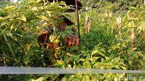 Corona Mewabah, Petani di Blitar Bingung ke Mana Harus Jual Cabai