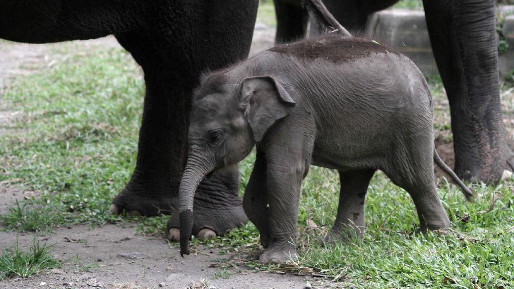 Video Gajah Sumatera Lahirkan Bayi Betina di Siak Riau
