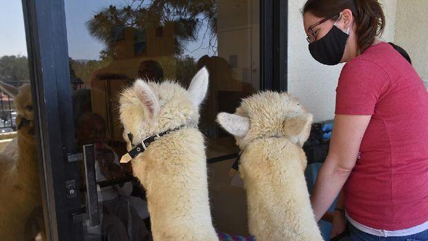 Therapy Alpaca Visit Seniorshttps://app.asana.com/0/1135954362417873/1173643297146165/fCredit: Helen Woodward Animal Center