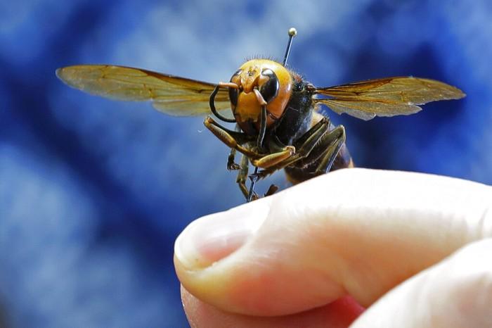Ahli serangga dari Departemen Pertanian Negara Bagian Washington, Sven Spichiger menunjukan tawon raksasa Asia di Olympia, Washington, AS, (4/5/2020). Tawon raksasa asal Jepang tersebut mempunyai ukuran sangat besar untuk ukuran tawon.