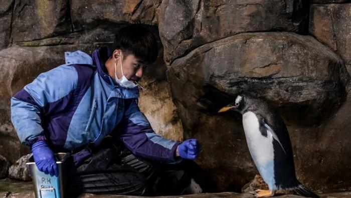 Pengurus penguin di Ocean Park Hong Kong sedang memberi penguin makanan (AFP)