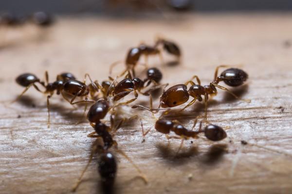 Dalam koloni semut, mereka punya tugas masing-masing. Ada ratu semut yang bertugas bertelur, semut pekerja untuk memberi makan larva, membuat kotoran koloni. Serta ada juga yang bertugas menyimpan makanan dan menjaga sarang. ( iStock)