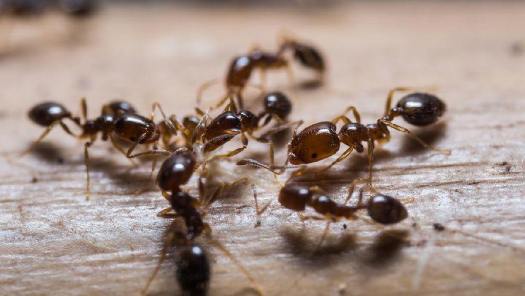 Semut Ternyata Dulunya Punya Sayap