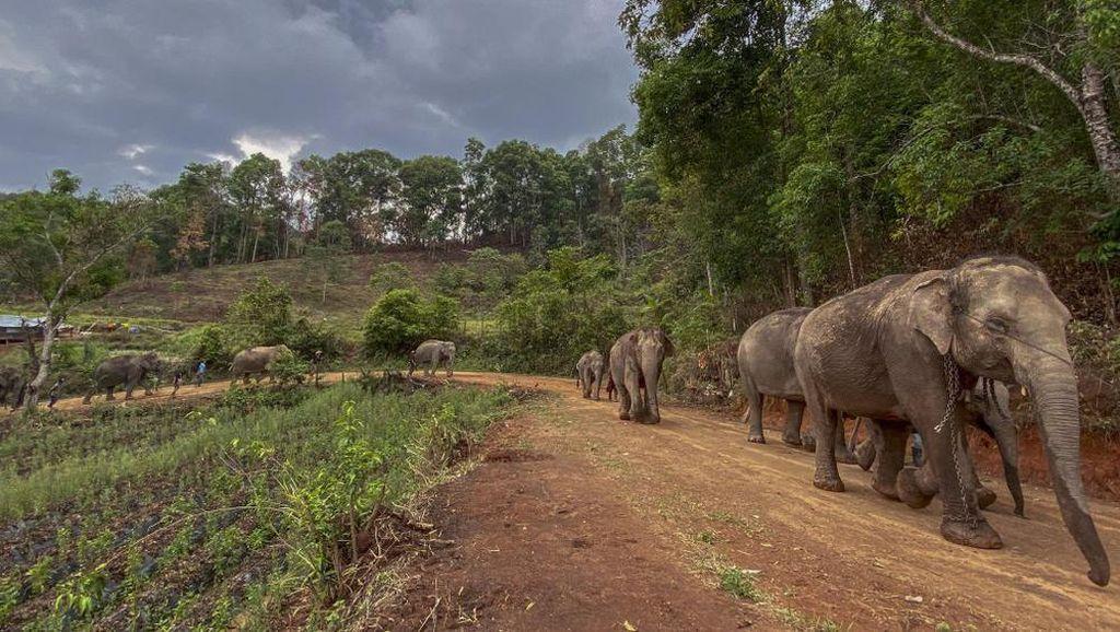 Kasihan! Bayi Gajah Ditusuk Pakai Angkusa di Thailand