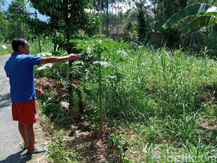 Wagimin menunjukkan area lokasi dirinya mendengar auman misterius, Klaten, Jumat (8/5/2020).