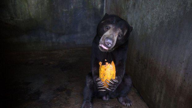 Nasib beruang di Kebun Binatang Medan
