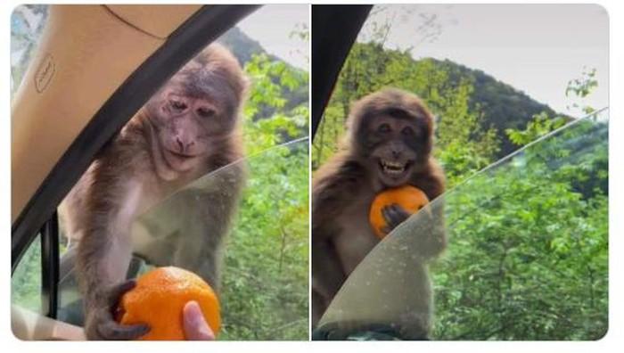 Reaksi monyet diberi jeruk