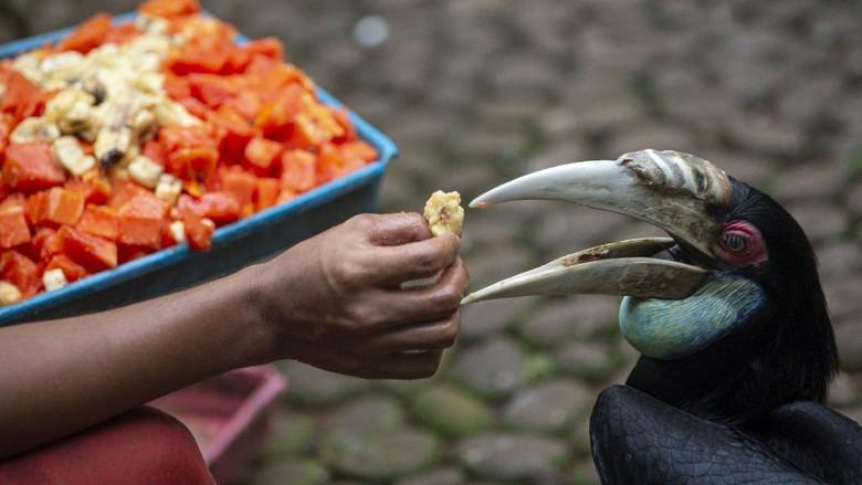 Petugas memberi pakan untuk burung macaw sayap biru (Ara chloropterus) yang sedang dirawat karena sakit di Taman Burung, Taman Mini Indonesia Indah (TMII), Jakarta, Sabtu (9/5/2020). Akibat ditutupnya TMII selama pandemi COVID-19, pengelola mengalami kesulitan penyediaan pakan untuk satwa-satwa koleksi sehingga mereka membuka donasi dengan target Rp180 juta untuk persediaan pakan Juni-Juli 2020. ANTARA FOTO/Aditya Pradana Putra/hp.