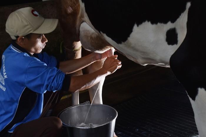 Susu jadi salah satu minuman yang diminati oleh warga. Permintaan yang cukup tinggi membuat peternak sapi perah banyak ditemukan di sejumlah wilayah Indonesia.