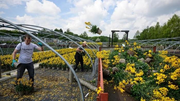 Staf di Bransford Webbs Plant Company membuang tanaman. Meskipun warga senang berkebun (AFP Photo / OLI SCARFF)