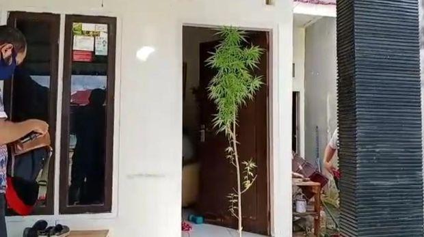 Seorang pria di Kota Kendari,Sultra, MZ ditangkap polisi setelah diketahui menanam ganja (Sitti-detikcom).